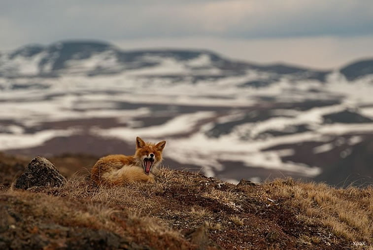 arctic-circle-foxes (1)