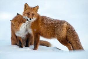 46 najboljih fotografija lisica sa Čukotskog poluostrva