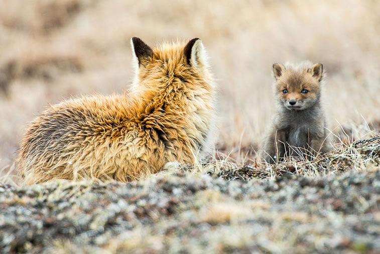 arctic-circle-foxes (22)