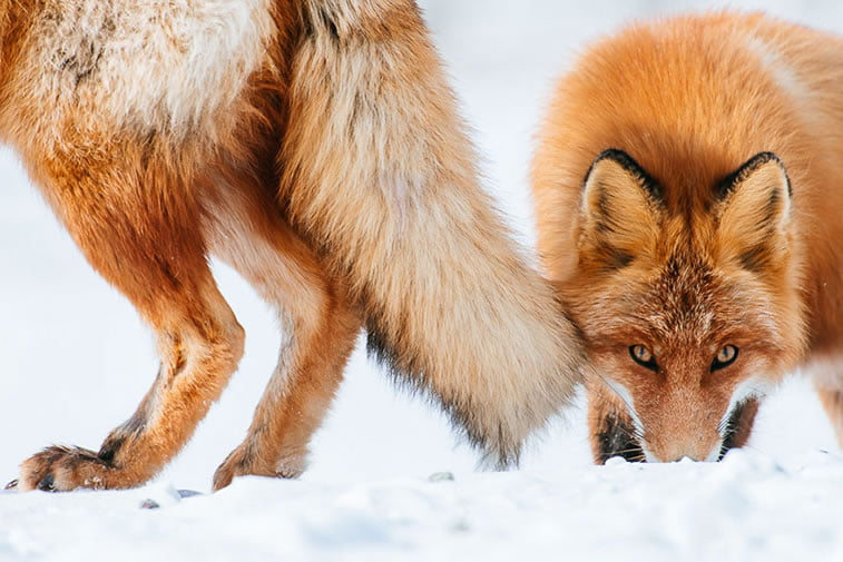 arctic-circle-foxes (26)
