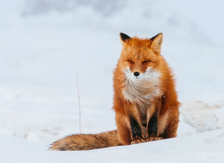 arctic-circle-foxes (27)