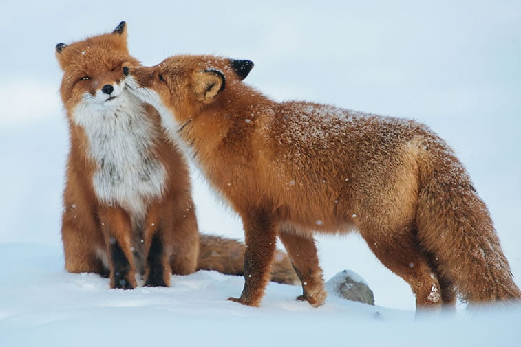 arctic-circle-foxes (29)