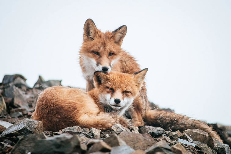arctic-circle-foxes (35)