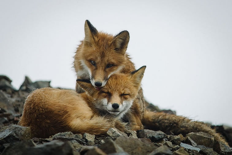 arctic-circle-foxes (39)