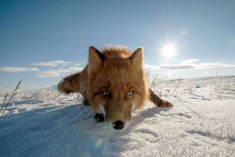 arctic-circle-foxes (44)