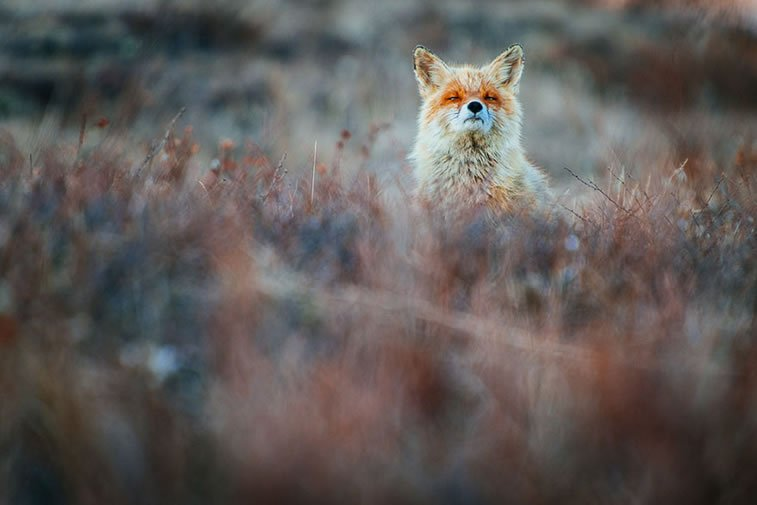 arctic-circle-foxes (57)