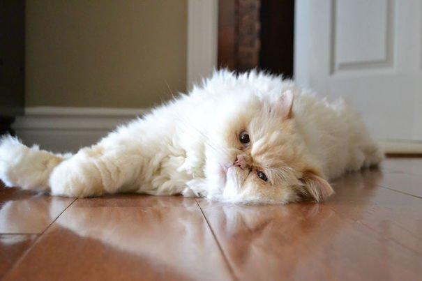 fat-fluffy-cats (13)