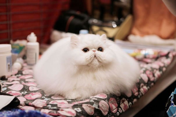fat-fluffy-cats (22)
