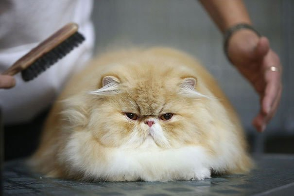 fat-fluffy-cats (30)