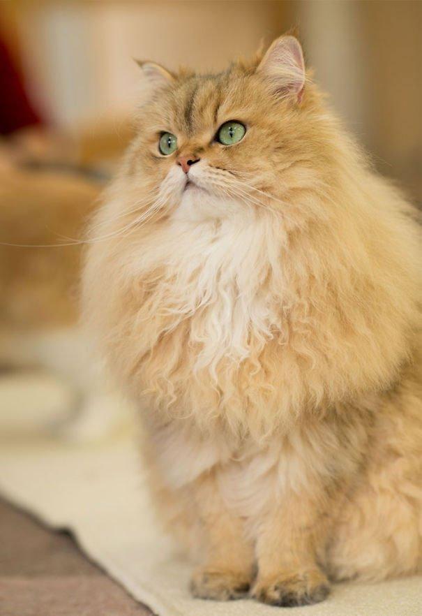 fat-fluffy-cats (31)