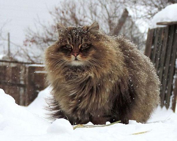 fat-fluffy-cats (32)