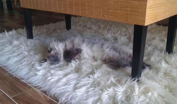 fat-fluffy-cats (33)