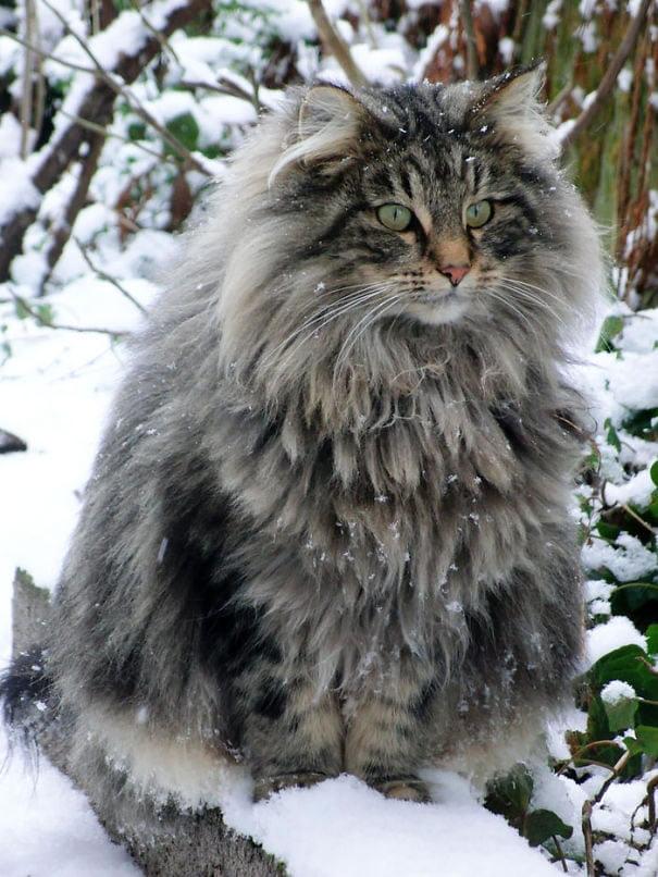 fat-fluffy-cats (43)