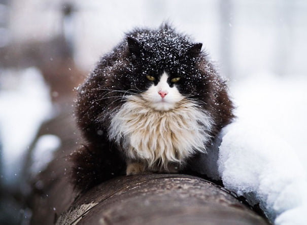 fat-fluffy-cats (5)