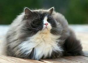 Fotografije najčupavijih mačaka na svetu