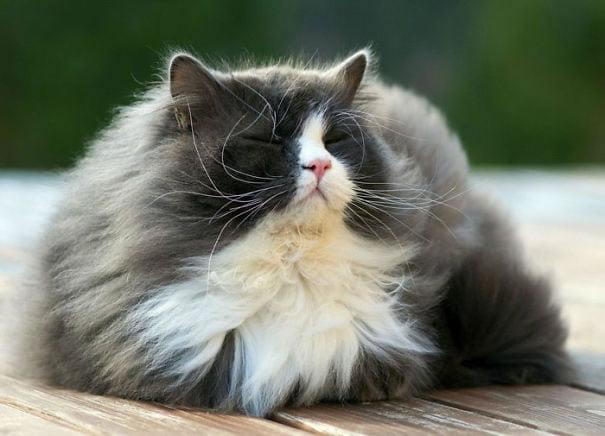 fat-fluffy-cats (6)