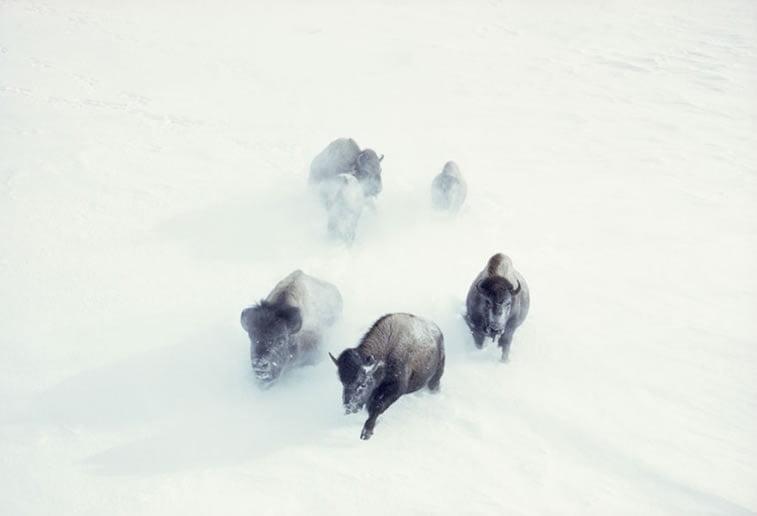 američki bizoni jurišaju kroz snežne nanose u Nacionalnom parku Jeloustoun 1967