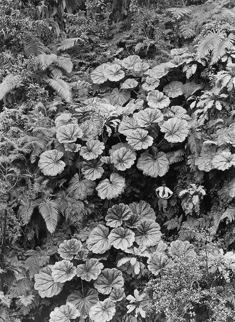 čovečuljak ispod džinovskog drveća na Havajima 1924.