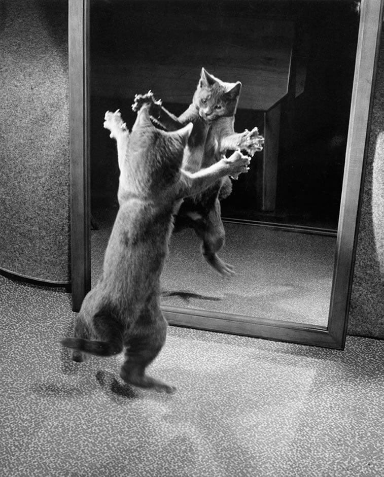 mače napada svoj odraz u ogledalu 1964.