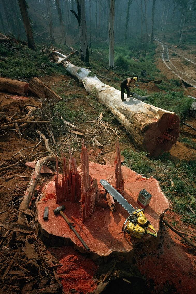 šumar obeležava položeno deblo za sečenje u Zapadnoj Australiji 1962.