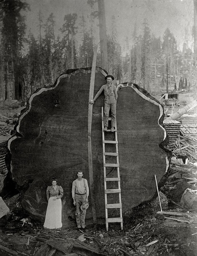 šumari pored oborene džinovske crvene sekvoje u Kaliforniji 1892.