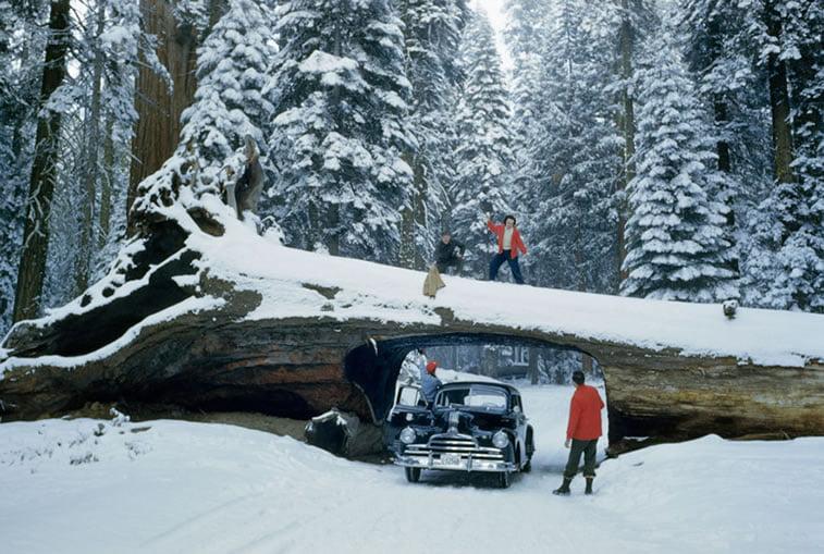 turisti istražuju položenu sekvoju kroz koju je isečen tunel, Nacionalna šuma sekvoja 1951.