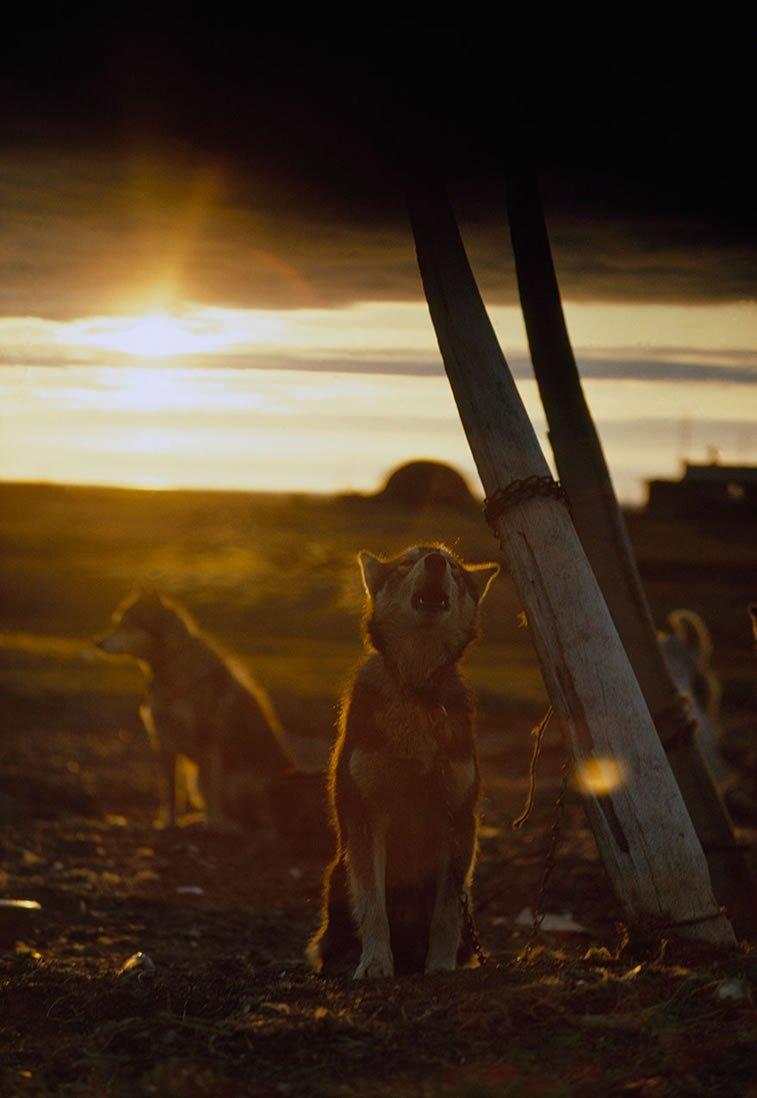 pas zavezan za kitovo rebro pod ponoćnim suncem na Aljasci 1969.