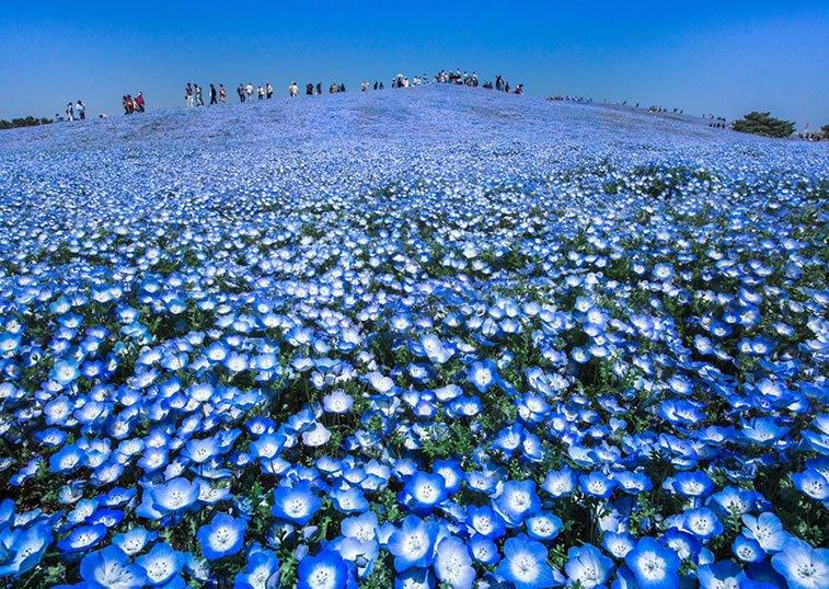 Plavi raj, Japan