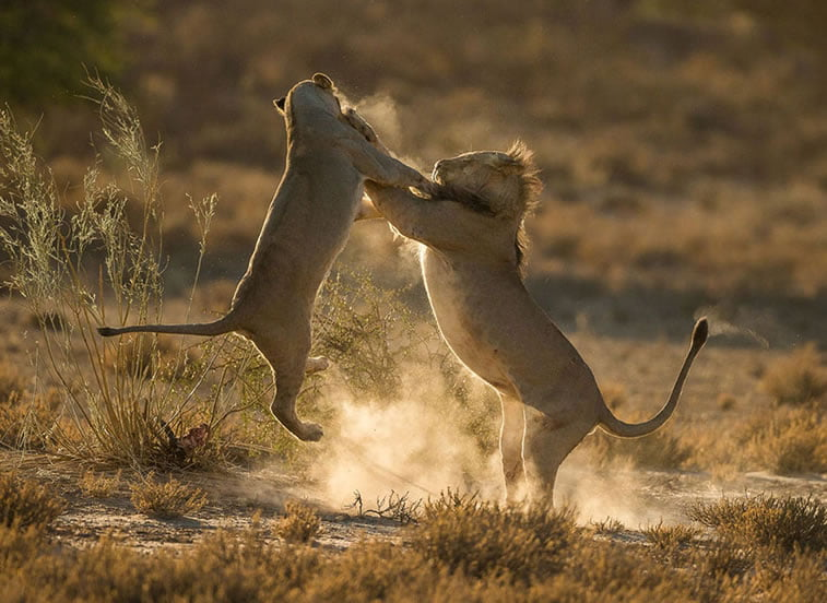 Trenutak udara, Park Kalagadi, Južna Afrika