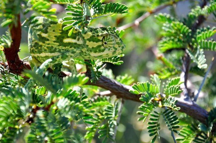 Neverovatni kameleoni životinjskog carstva 7