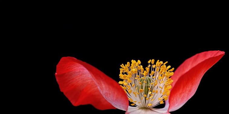 mak cvet pozadina desktop pexels pixabay