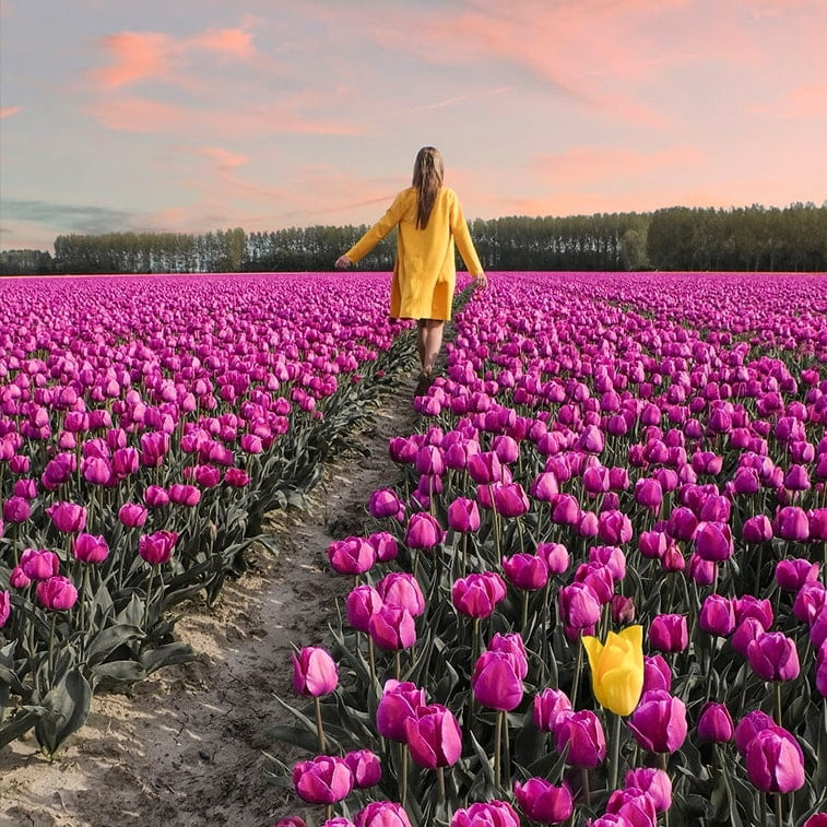 Blooming fields of the Netherlands