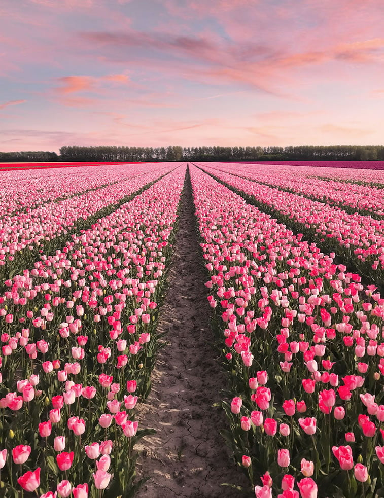 blooming fields of the netherlands 10 amsterdam tulip garden