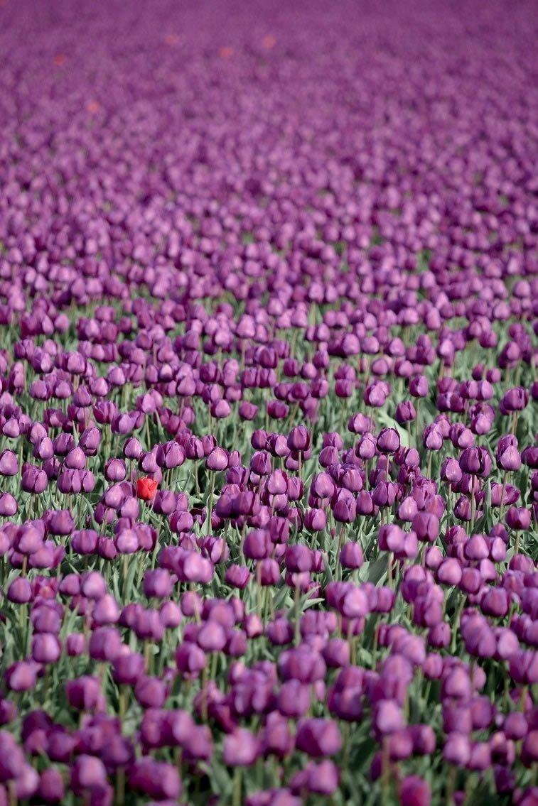 blooming fields of the netherlands 23 1 purple tulip garden
