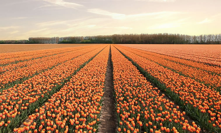 blooming fields of the netherlands 5 travel photography