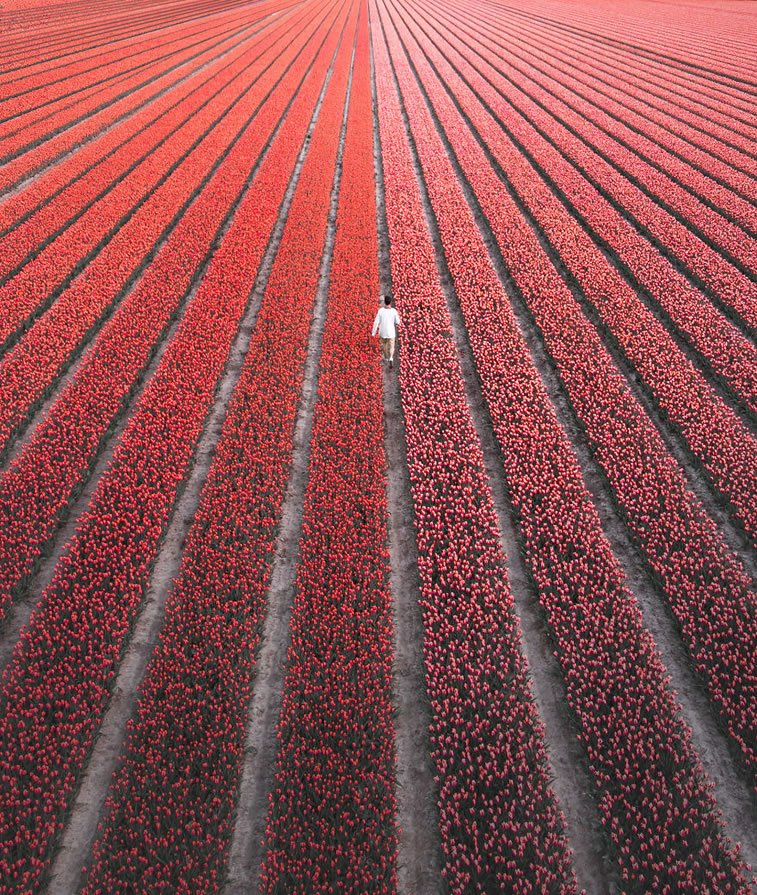 blooming fields of the netherlands 7 red tulip field