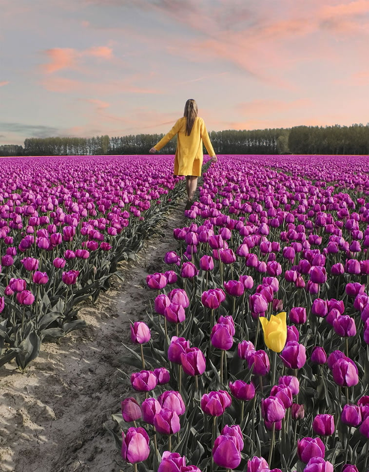 blooming fields of the netherlands 9 holland tulip field