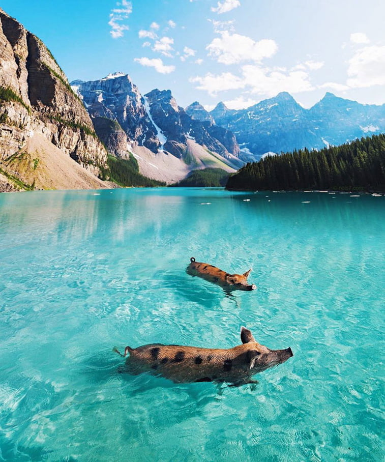 pigs swimming in lake photo manipulation