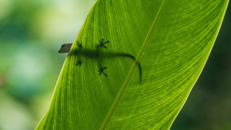 a gecko pausing on a leaf in mahé on seychelles