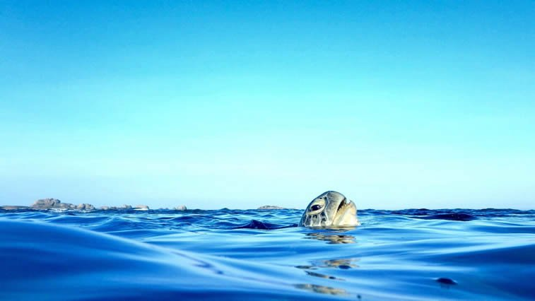 turtle in the sea surfacing for air sri lanka