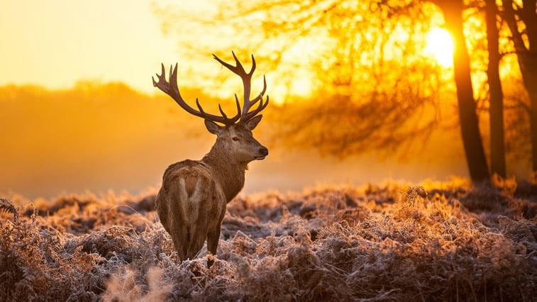 jelen u prirodi desktop pozadina