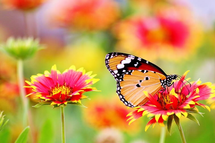 leptir na cvetu desktop pozadina